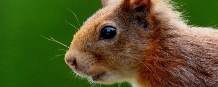 Wiewiórka zdjęcie